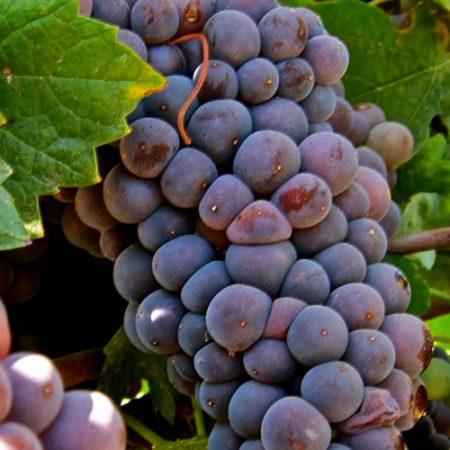 Pinot Grigio / Gris